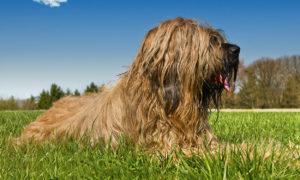 Langhaarhunde richtig pflegen