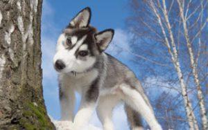Winterhund Husky