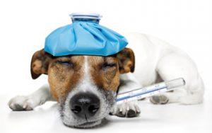 Fieber beim Hund