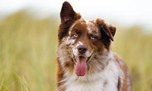 warum-hunde-hecheln