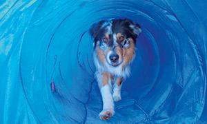 Hund im Agility Tunnel