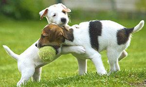 Welpen mit Hundespielzeug
