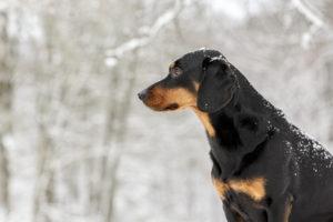 Bracke im Schnee