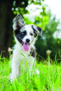Ohren anlegen bei Hunden