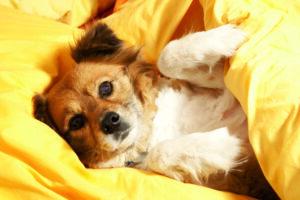 Warum pinkeln Hunde ins Bett?